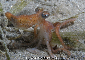 Micro Octopus night diving in Naama Bay by Adolfo Maciocco 